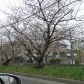 玉串川桜並木